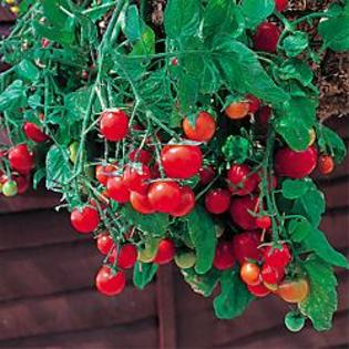 Hirts: Tomato Plants Basket Boy Red Tomato - 4 Plants - Weeping Habit at Sears.com