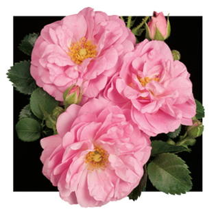 "Hirts: Roses Climbing 'Cape Diamond' Rose - Extremely Disease Resistant - Super Hardy -4"" Pot at Sears.com"