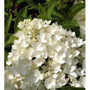 Hirts: Hydrangea 'Little Lamb' Hydrangea paniculata - Pristine White - Proven Winners at Sears.com